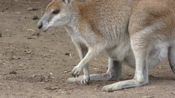 Red Kangaroo Female Adult Young Joey Family Foraging Looking For Food Pouch