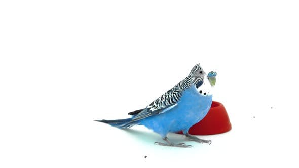 Parrot volant près de mangeoire