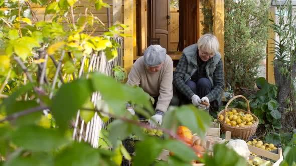 Thumbnail for Caucasian Gärtner Reinigung frisch gesammeltes Obst und Gemüse