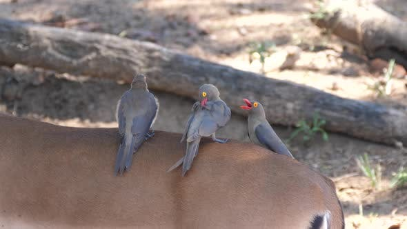 Thumbnail for Three Yellow-billed oxpecker on the back of an impala