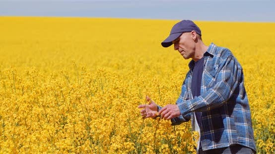 Thumbnail for Agriculture Farmer Examining Rapeseed Crops at Field.
