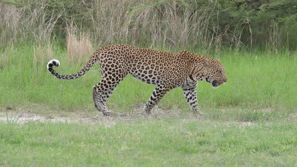 Thumbnail for Leopard walking through the bush