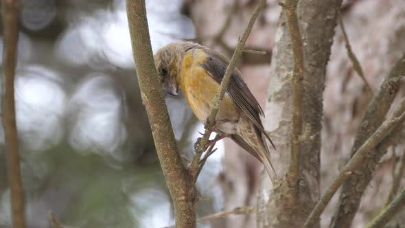 Thumbnail for Male Red crossbill on a branch