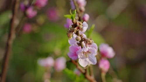 Pink Flowers of a Cherry Blossom on a Sakura Tree Close Up