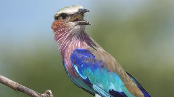 Thumbnail for Close up from a Lilac-breasted roller