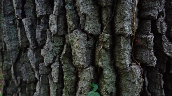 Thumbnail for Trunk of a Huge Tree