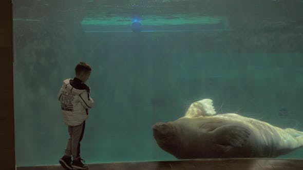 Thumbnail for Child Watching Swimming Walrus in the Oceanarium