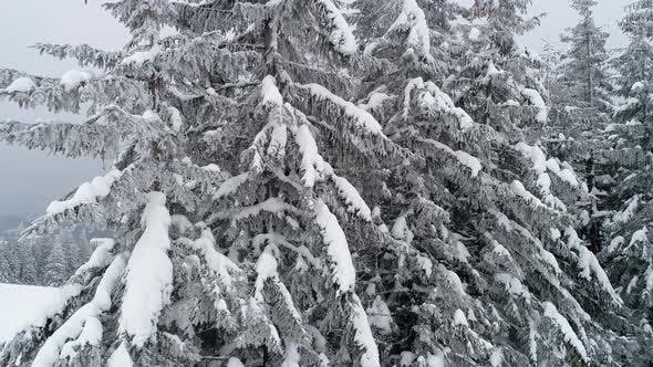 Thumbnail for Beautiful Cloudy Winter Fir-trees