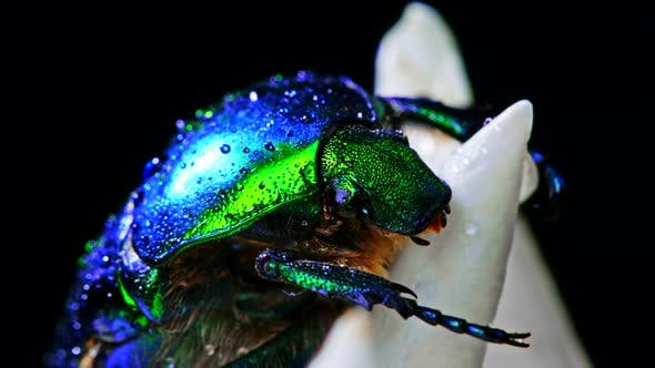 Thumbnail for Close-up View of Green Rose Chafer - Cetonia Aurata Beetle on White Flower of Peony. Amazing Emerald