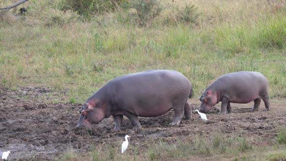 Hippos walking around in the mud looking for food