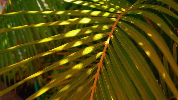 Thumbnail for Closeup Shot of a Foxtail Palm Under the Sun