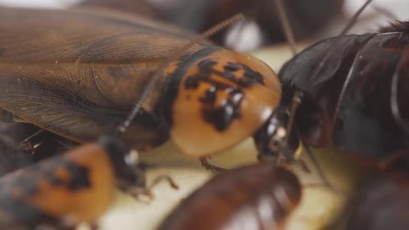 Close Up Cockroach Family Eats Food on Plate in the Kitchen  Footage