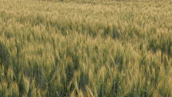 Golden colors of common wheat Triticum aestivum 4K footage