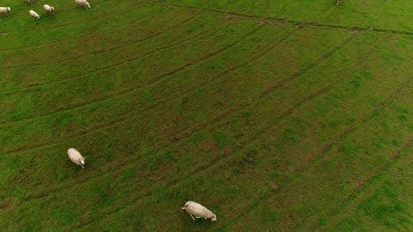 Thumbnail for Sheeps