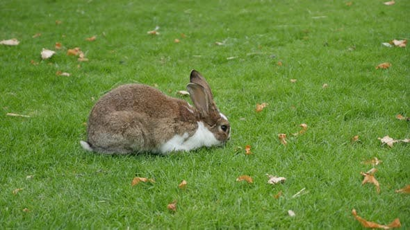 Thumbnail for Rabbit eating grass in the field and relaxing 4K 2160p UltraHD footage - Bunny outdoor in the grass