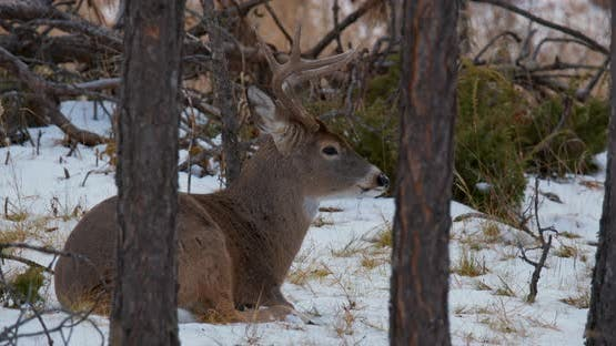 White-tailed Deer Buck Male Adult Lone Sitting Bedded Chewing Cud in Autumn