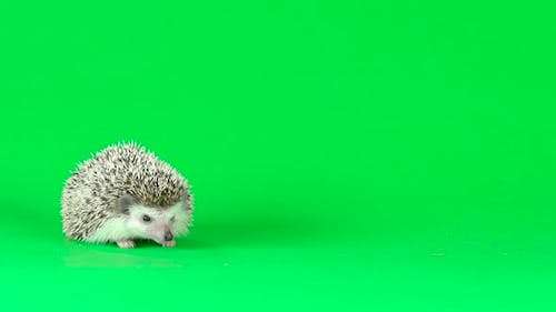 Curious Hedgehog Is Walking and Sniffing on a Green Background at Studio. Slow Motion.