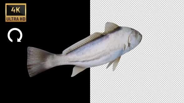 Corvina Fish Back View