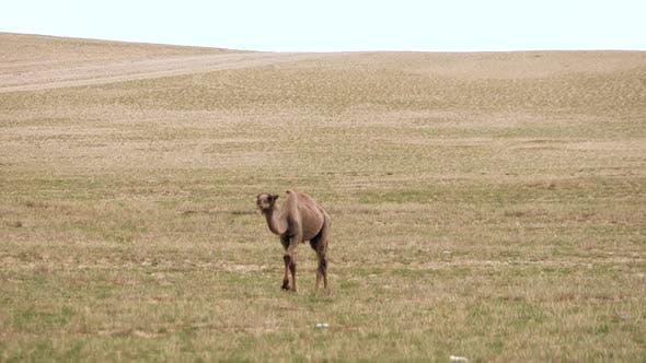 Alone Lonely Wild Camel Free-Roaming Freely in Barren Steppes of Central Asia