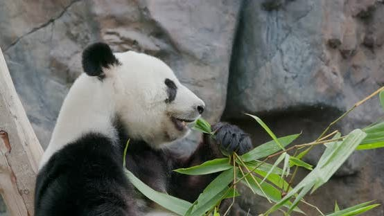 Thumbnail for Panda eating bamboo