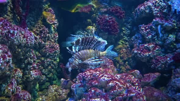 Clearfin Lionfish (Pterois Radiata), Also Called the Tailbar Lionfish
