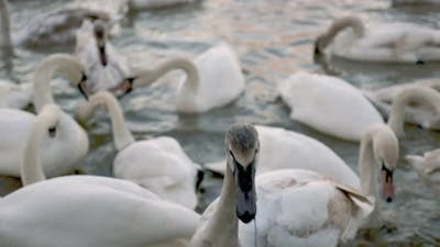 Many Swans Swim on the River