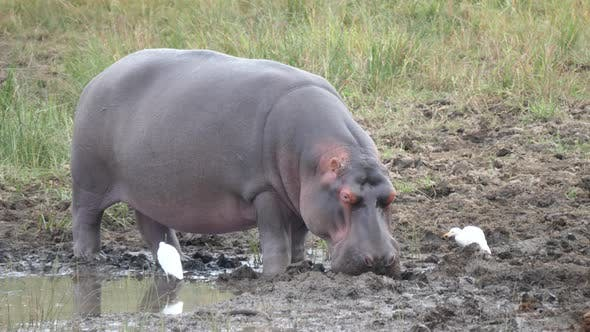 Cover Image for Hippo getting sleeping near a waterpool