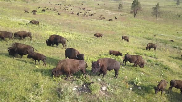 Thumbnail for Bison Bull Cow Adult Immature Herd Many Smelling Lip Curlflehmen Breeding in Summer