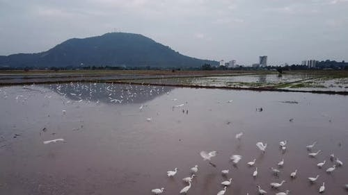Beautiful white crane fly in a rice field