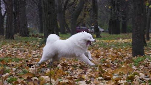 Cheerful Samoyed Spitz Frolics in Nature
