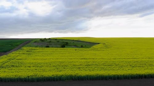 Bright Green Agricultural Farm Field With Growing Rapeseed Plants