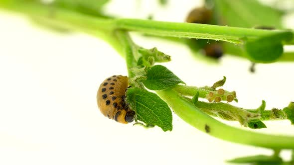Thumbnail for Larvae of a Bug Eat a Bush on a White Background