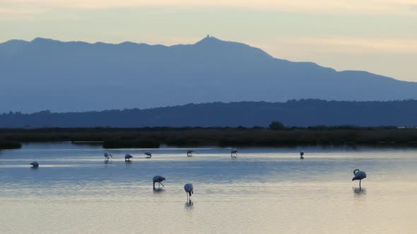 Thumbnail for Flamingos during sunset in a lake at National Park of amvrakikos wetlands