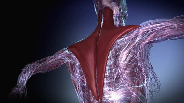 Cover Image for Female Muscular Trapezius