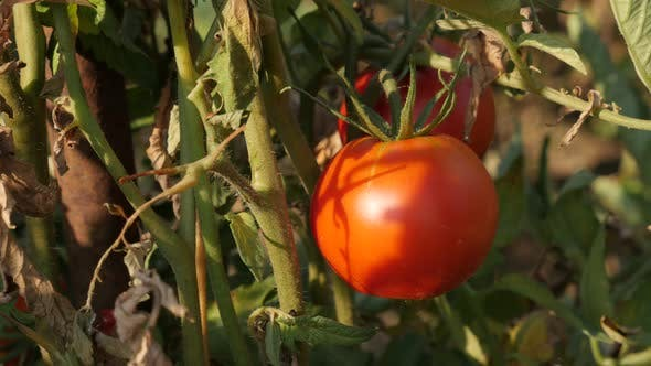 Thumbnail for Solanum lycopersicum organic fruit   slow tilt 4K 2160p 30fps UltraHD footage - Close-up of red toma