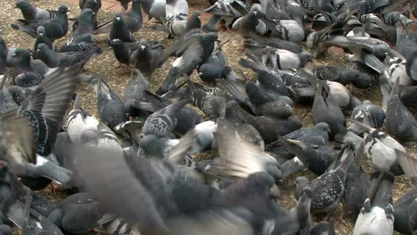 Thumbnail for Animal Bird Pigeon Doves 11