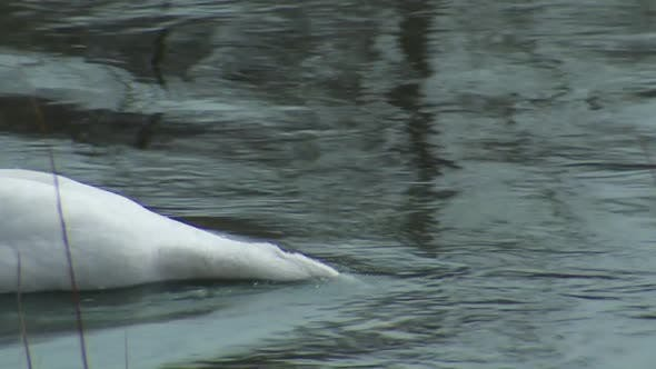 Thumbnail for Trumpeter Swan Adult Lone Eating Feeding in Spring River Stream Creek