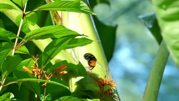 Thumbnail for Orange and Black Dottet Tropical Butterfly Flapping its Wings Slow Motion