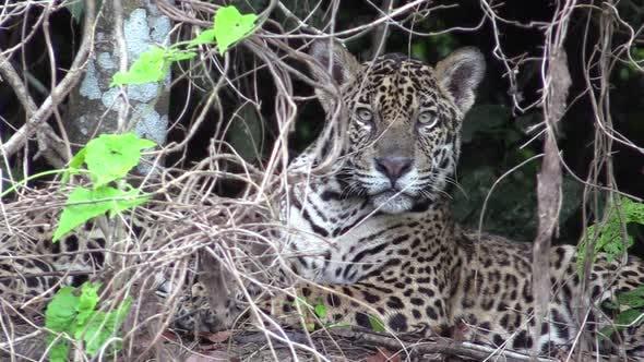 Jaguar Male Adult Immature Lone Looking At Camera in Brazil
