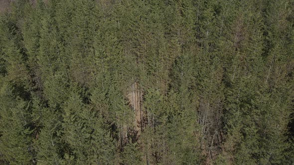 Thumbnail for Above the trees of European silver fir Abies alba 4K aerial video