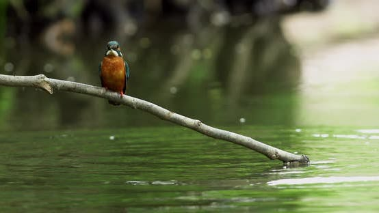 Kingfisher diving into water