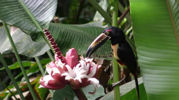 Thumbnail for Collared Aracari Adult Lone Eating Feeding Swallowing in Costa Rica