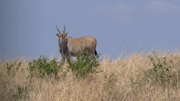 Common eland in Africa