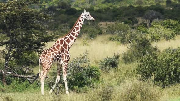 Giraffe Walking Alone At The Savannah In Sosian Wildlife, Kenya - Medium Shot