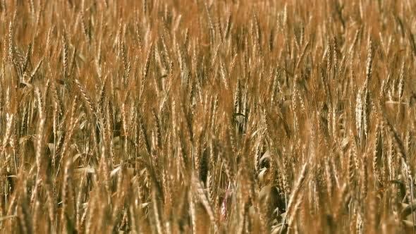 Thumbnail for Grain Field
