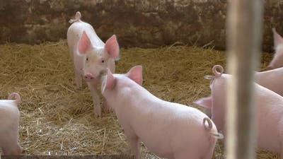 Group of Pigs.