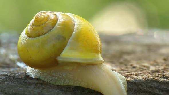 Snail Creeps Through The Board In The Garden