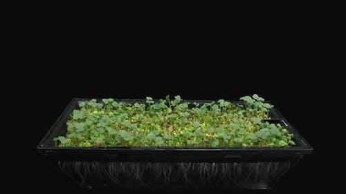 Time-lapse of germinating microgreens broccoli seads