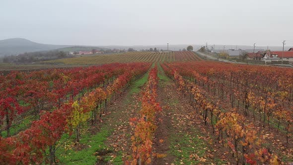 Thumbnail for Aerial View On Vineyards In The Fall 4