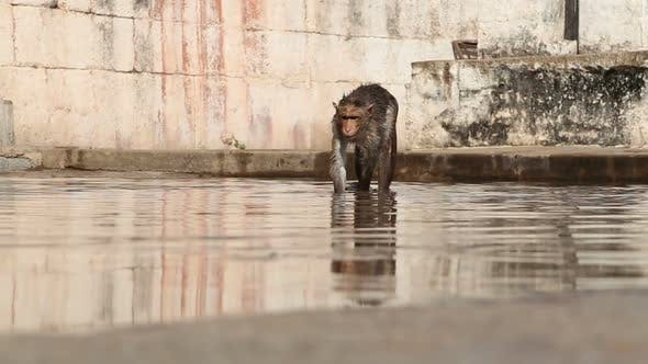 Walking monkey drinking water.